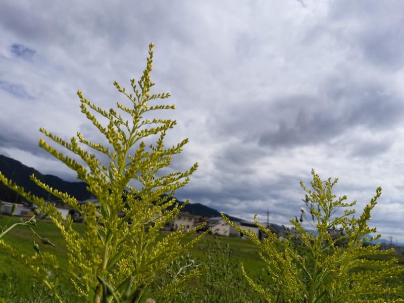 セイタカアワダチ草
