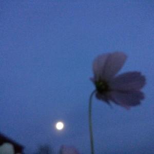 コスモスとお月さま