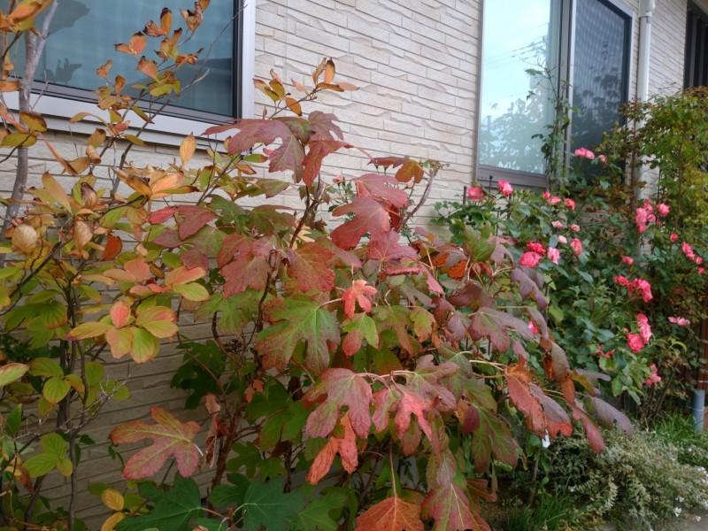 柏葉アジサイの紅葉とピンク色バラ