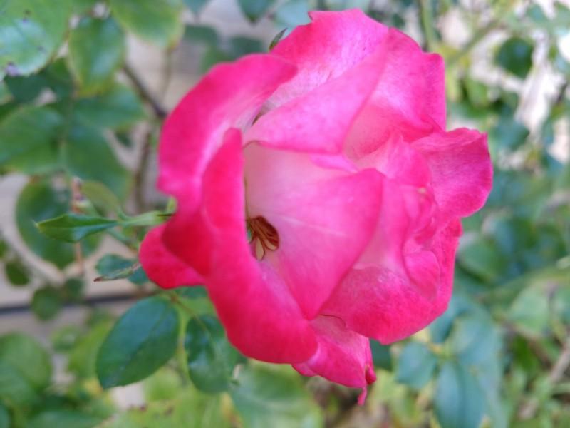 名無しの薔薇