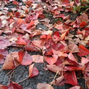 ハゼの葉の落ち葉