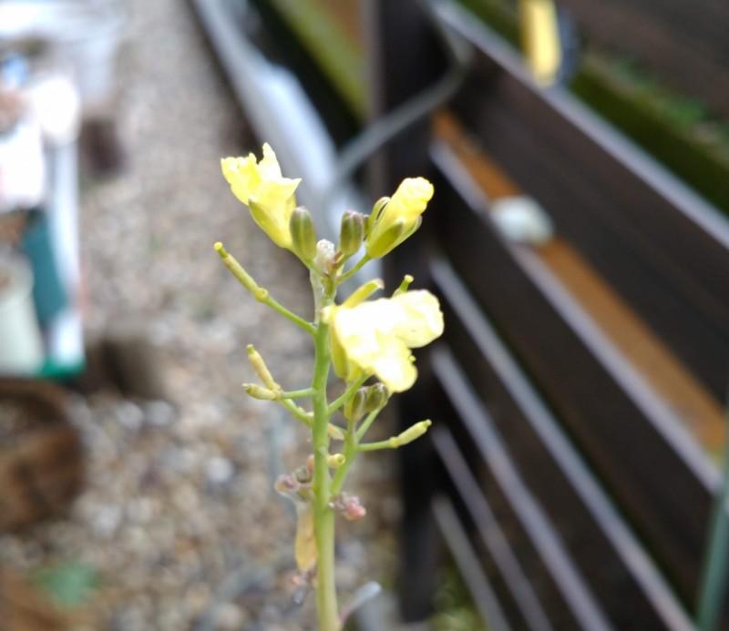 ステックブロッコリーの花