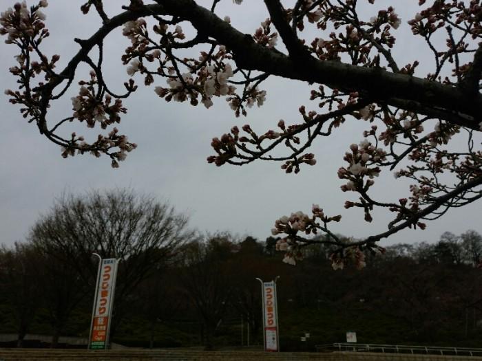 西山公園のソメイヨシノが開花