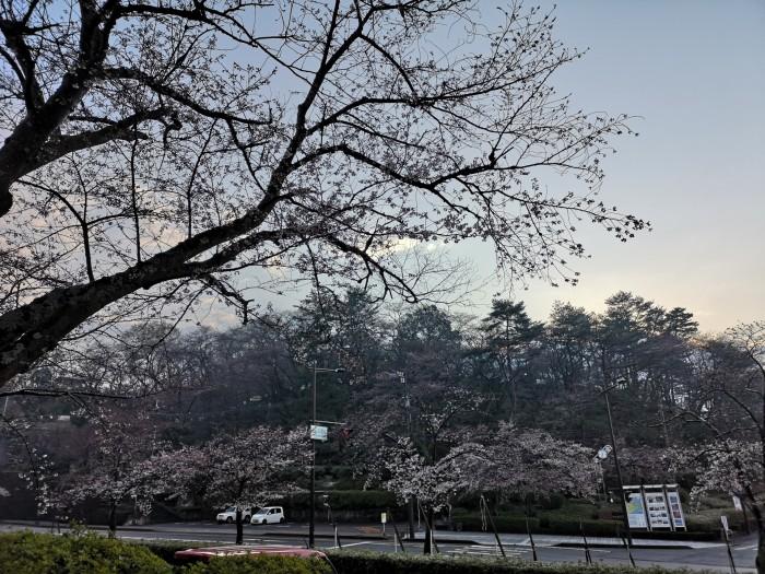 桜の花に雪