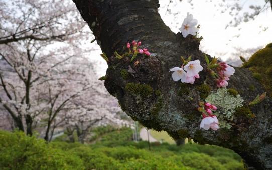 鯖江市西山公園の桜