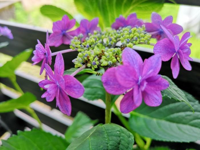 紫陽花 ハイドランジア小町