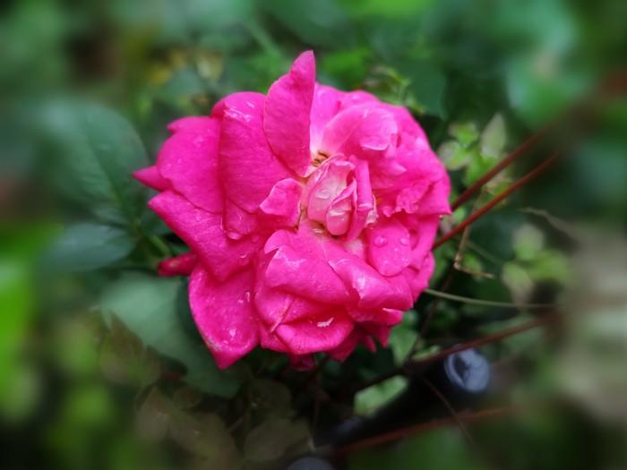 薔薇ハイブリットティー