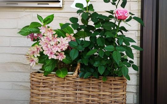 寄せ植え ミニバラ/紫陽花ダンスパーティー