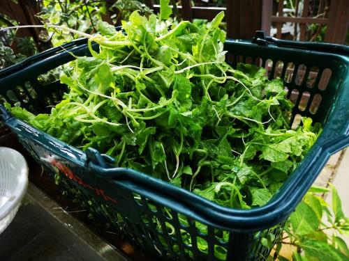 大根の摘まみ菜