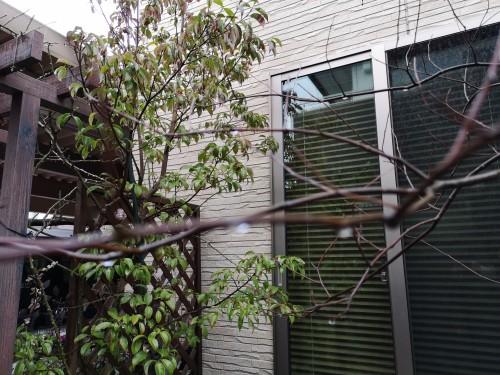 アメリカハナズオウシルバーに雨粒