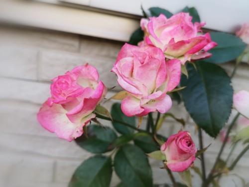 1月の名無しのバラ