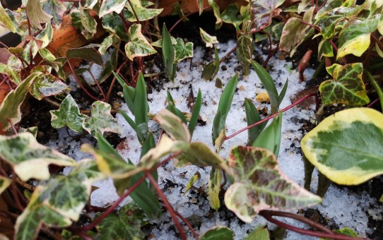 チューリップの芽