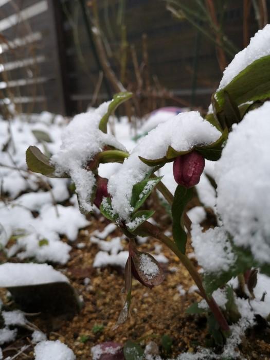クリスマスローズに雪