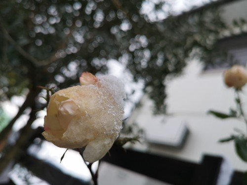 薔薇に雪の綿帽子