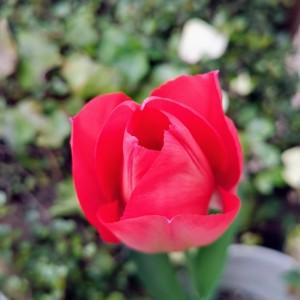赤色のチューリップ