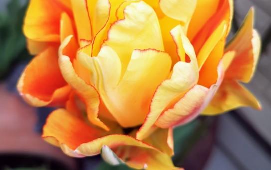 八重咲きの黄色いチューリップ