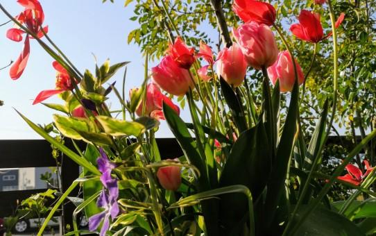 原種系チューリップクルシアナアニカ/八重咲きのチューリップ八重咲きチューリップ フォクストロント