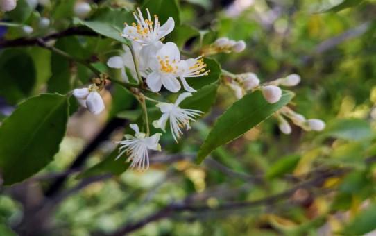 ハイナキの花