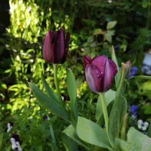 漆黒のチューリップ クイーンオブナイト