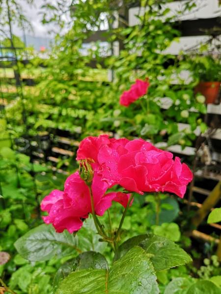 薔薇パーマネントウェーブ