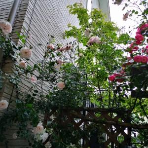 ガーデンシンク前/ツルバラアンジェラ/ツルバラニュードーン/常緑ヤマボウシ