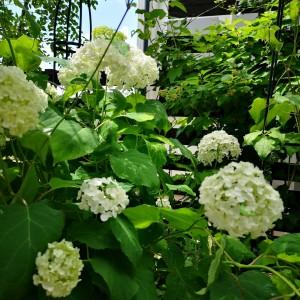 紫陽花アナベル 6月の庭