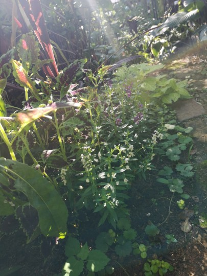 アンゲロニア 紫色・白色/コリウス