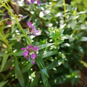 アンゲロニア紫色