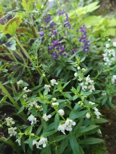 アンゲロニア紫色・白色