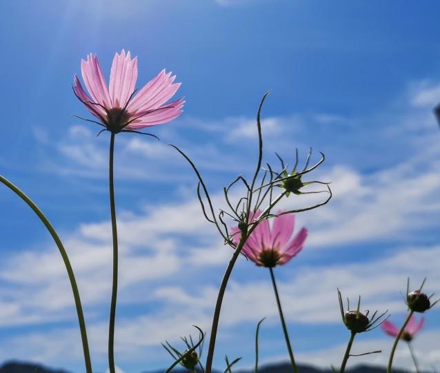 コスモスな花
