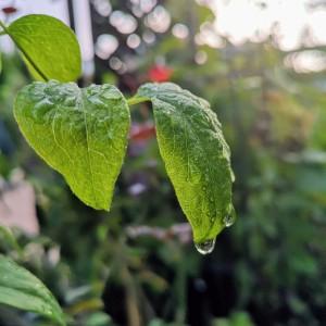クレマチス・ジョンハクスダブルの葉の上に雨粒