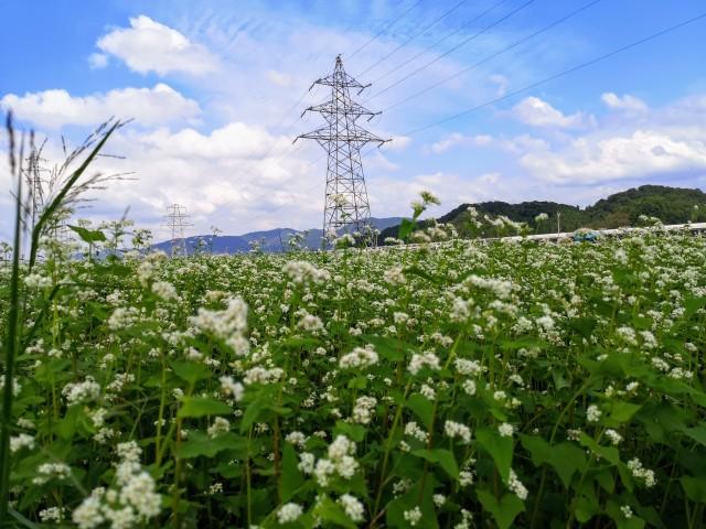 蕎麦の花風景