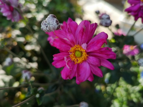 濃ピンクの八重咲きシュウメイキク プリンツ・ハインリッヒ
