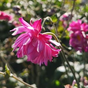 濃いピンク色のシュウメイキク八重