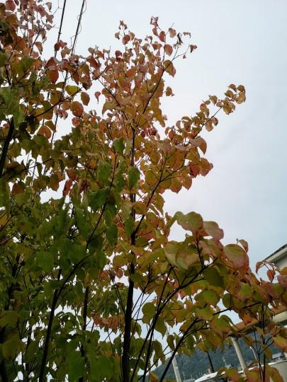 紅葉の始まったヤマボウシ