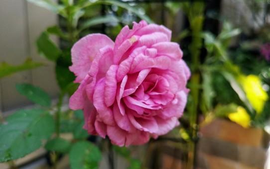 バラ コテイヨン/斑入りフジバカマ ピンクフロスト