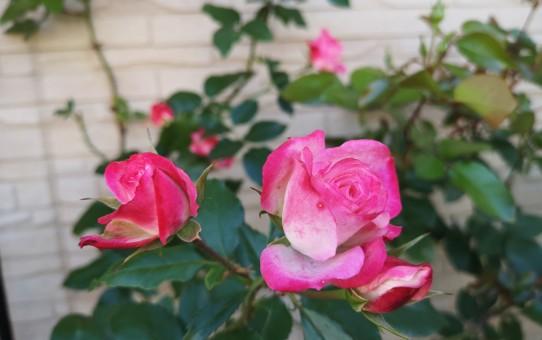 名無しのピンク色バラ