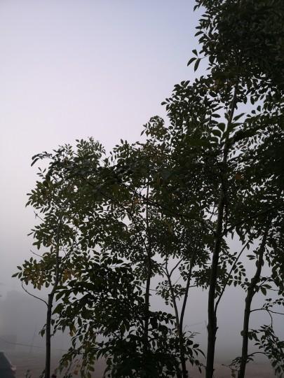 霜が降りた朝/シマトネリコ