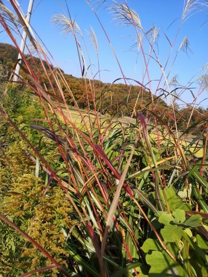 ススキの茎は紫色