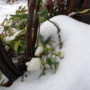 雪山から顔を出した原種のクリスマスローズ・ニゲル
