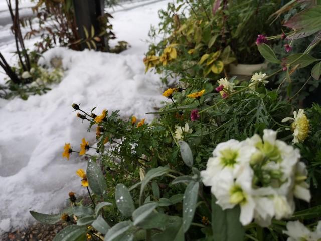 雪景色と原種のクリスマスローズ・ニゲル