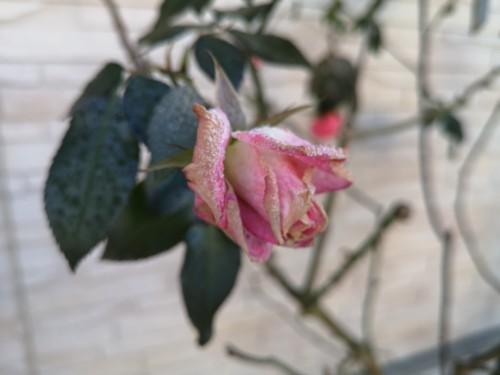 薔薇の花にできた霜花