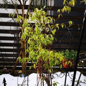 オリーブの木/ハイノキ/ビオラの鉢植え