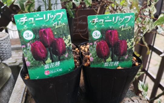 紫花種のチューリップ