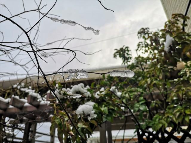 庭木の枝に氷の花