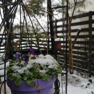 ビオラの鉢植えの上に雪のお布団