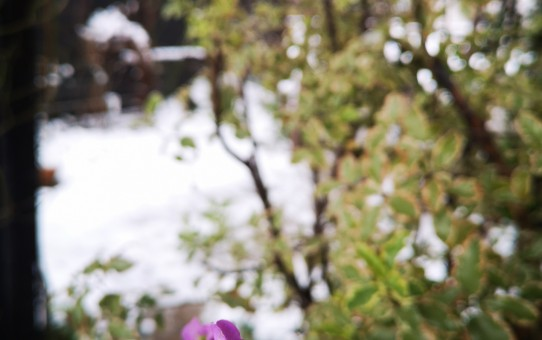 ストック ピンク/ピットスポルム テヌイフオリウム リエガッム/雪のに庭