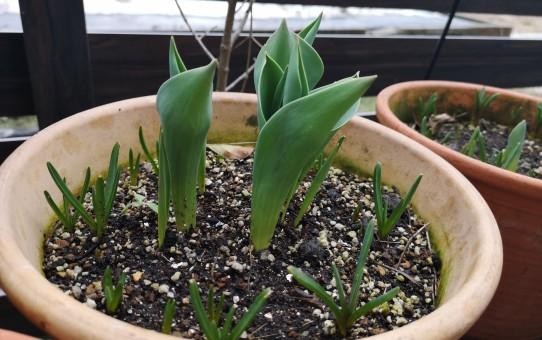 チューリップとムスカリの芽