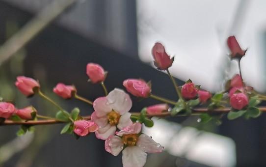ピンクユキヤナギ
