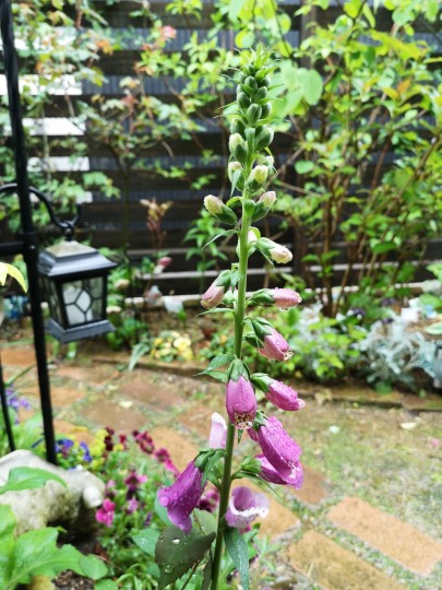 雨の庭/ジキダリス